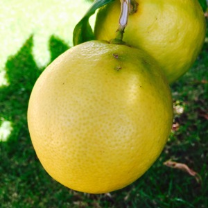 Ripe Yellow Lemon on a Tree in Maui