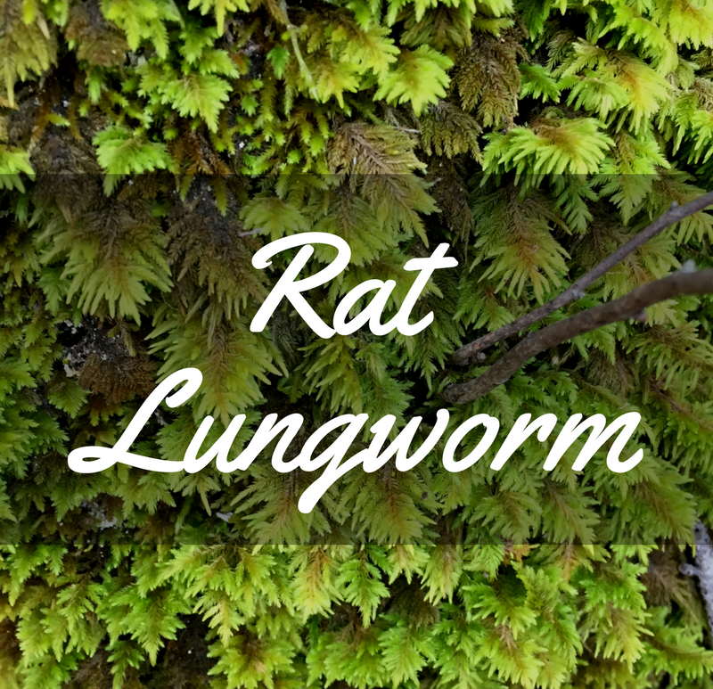 Rat Lungworm